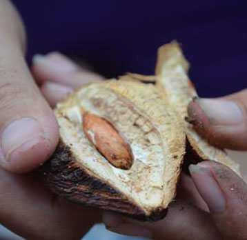 hạt bàng tách vỏ